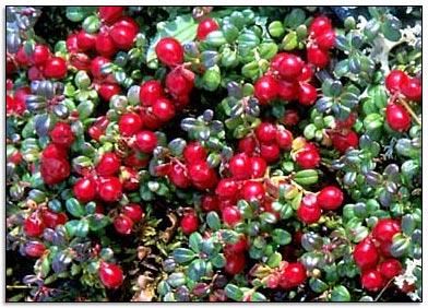Donde conseguir Cranberry o arándano rojo?